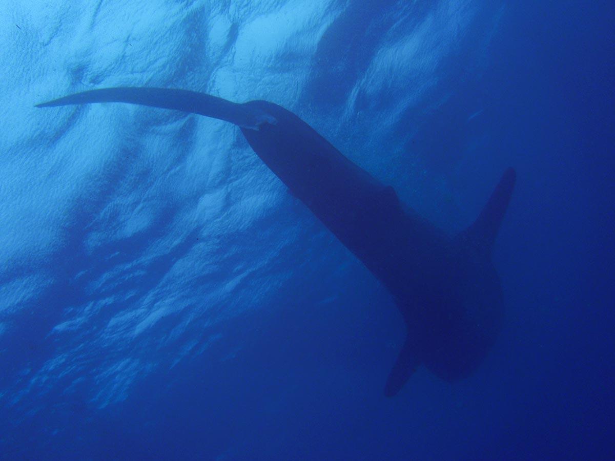 Walhaie in Oslob auf den Philippinen