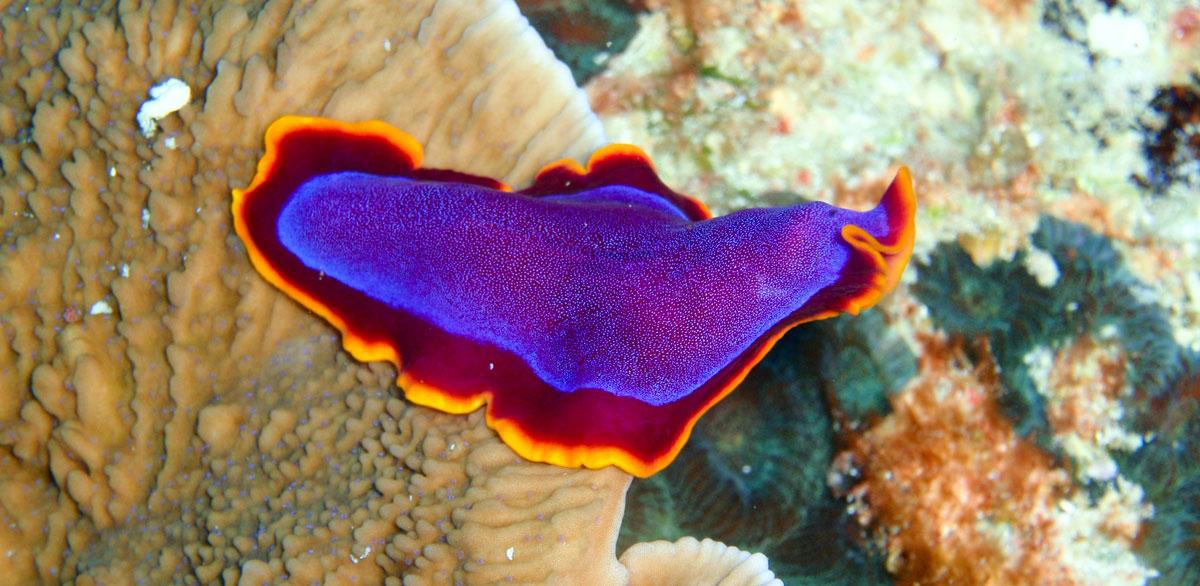 Seeschnecke auf den Philippinen