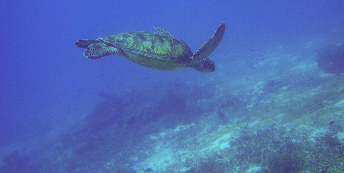 Meeresschildkröte auf den Philippinen