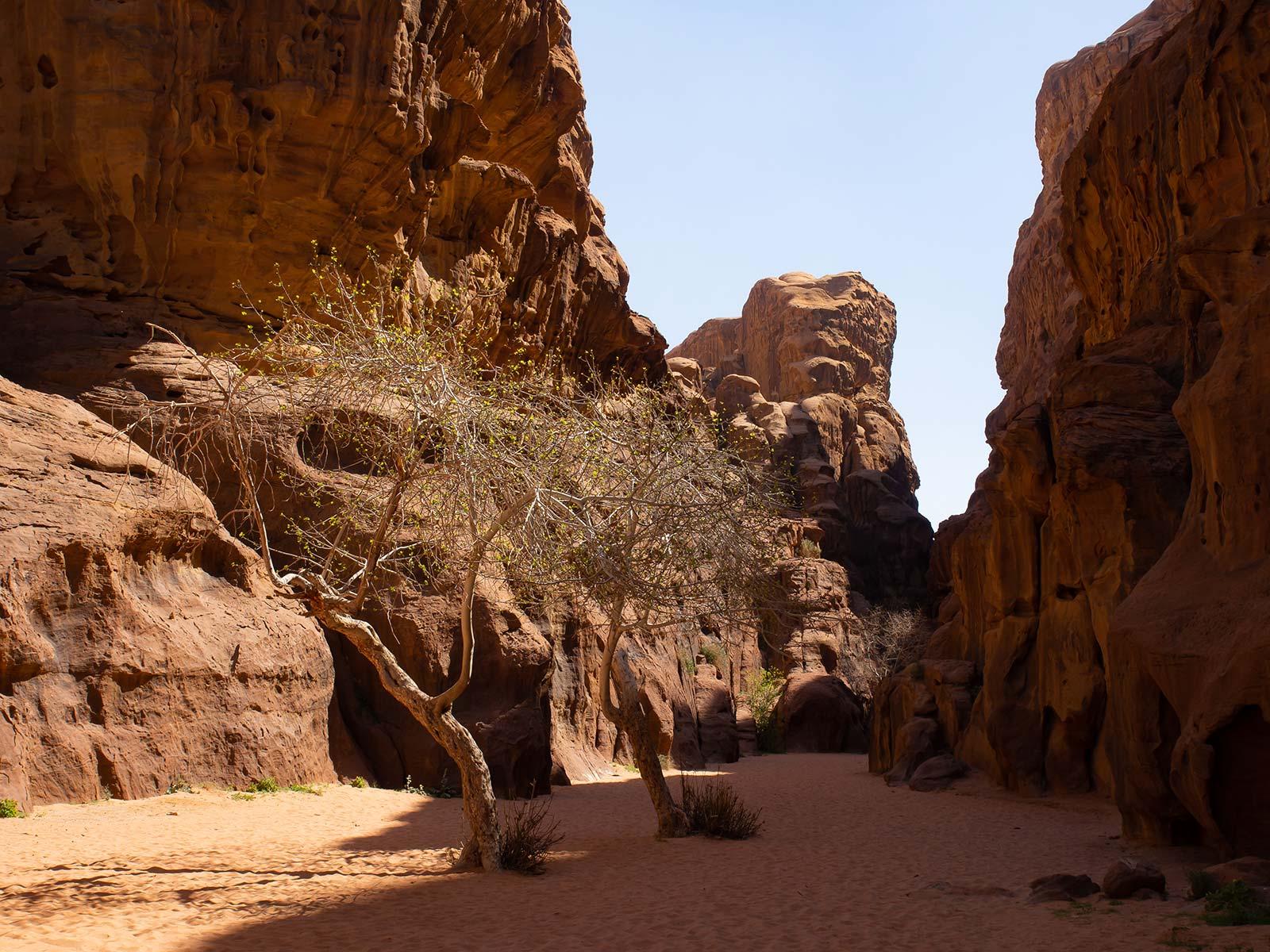 Wadi Rum blühende bäume