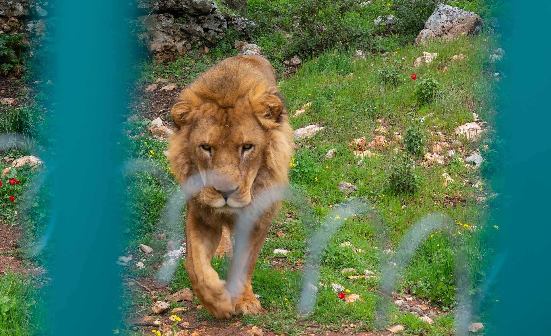 Löwe im Al Ma'wa for Nature and Wildlife