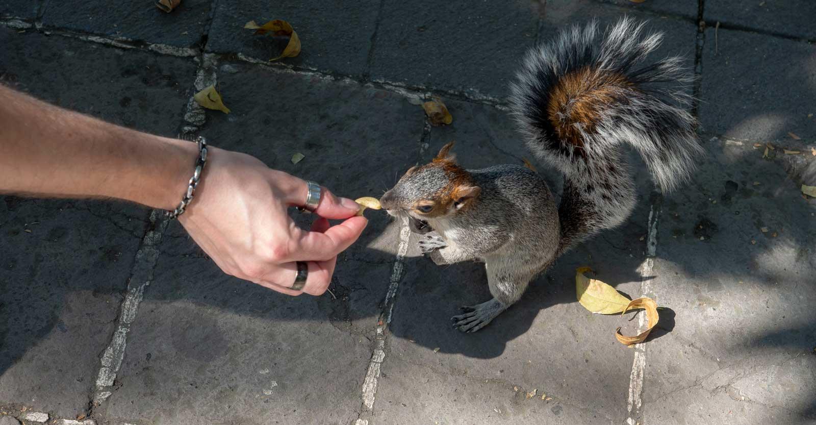 Eichhörnchen im Chapultepec Stadtpark